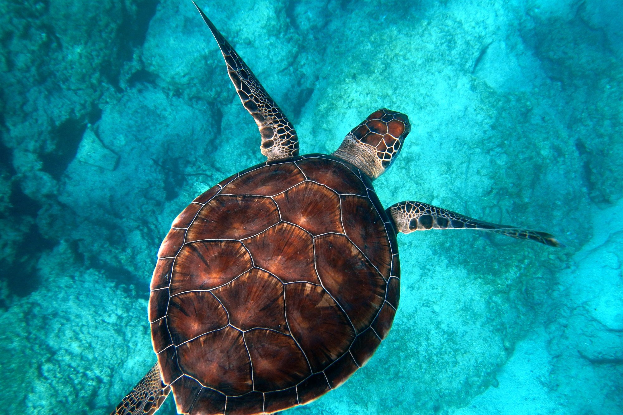 A turtle swimming signifying conscientiousness.