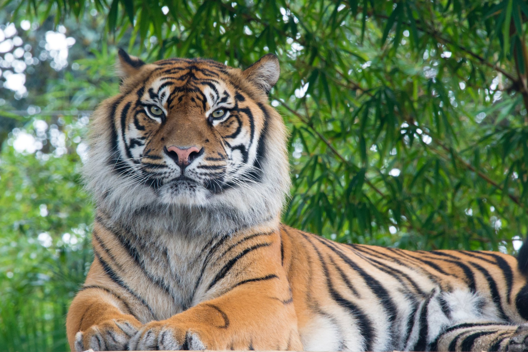 A photo of a tiger signifying dominance.